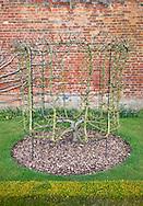 Pyrus communis 'Louise Bonne de Jersey' (pear 'Louise Bonne of Jersey') goblet trained fruit tree at West Dean Gardens