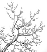 Fresh snow blankets the branches of a tree on the Wasatch Mountain Range in Utah. Colin Braley/Photo