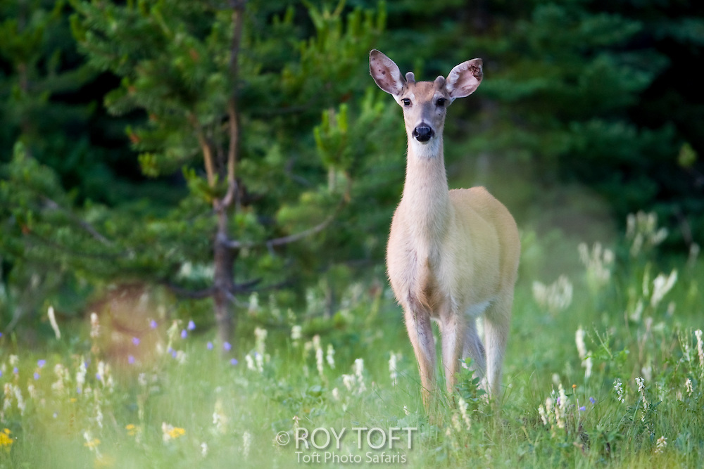White-tailed Deer (Odocoileus virginianus) young male standing in summer meadow, British Columbia