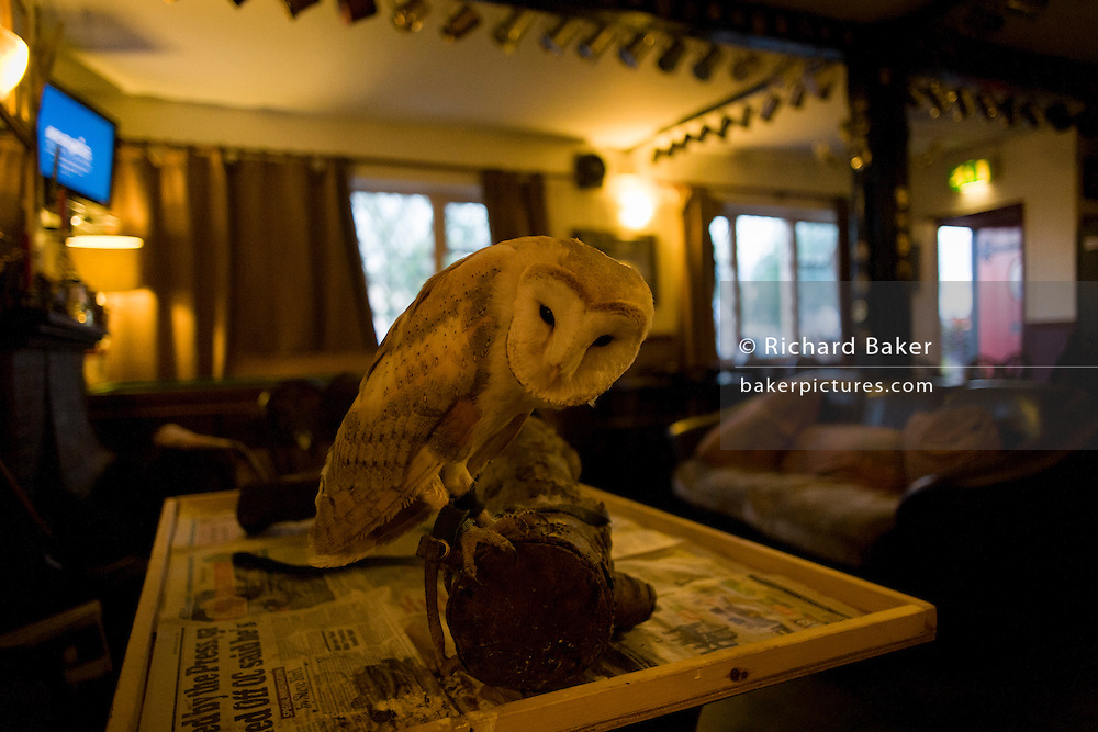 A tame Barn Owl rests on its perch at a quiet Lord Nelson pub in Reedham on the Norfolk Broads.