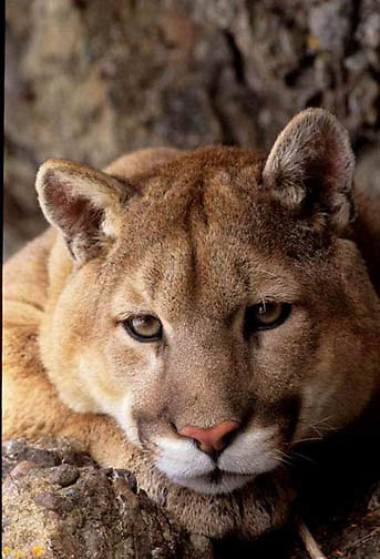 Mountain Lion or Cougar, (Felis concolor) Portrait of adult. Montana.  Captive Animal.