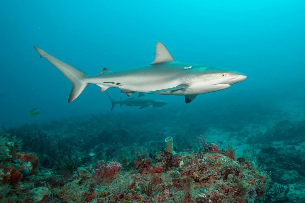 A Caribbean Reef, Carcharhinus perezi, swims offshore Juno Beach, Florida, United States.