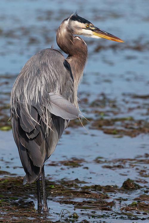 Great Blue Heron (ardea herodias) near Post Point, Bellingham, Washington