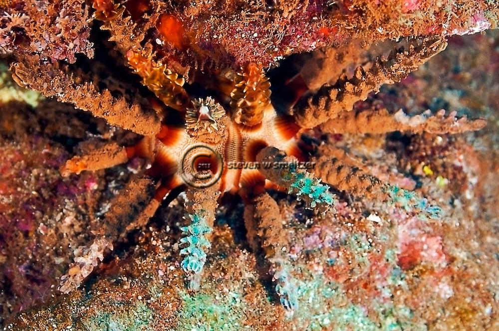 Rough Spined Sea Urchin, Prionocidaris hawaiiensis, near Kihei on the island of Maui, Hawaii
