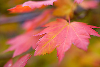 Image of maple tree in fall.