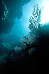 Gorgonian fan corals grow in a cave on Mermaid Reef at the Rowley Shoals.