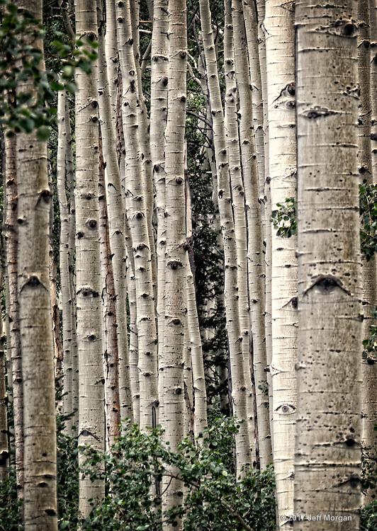Birch trees in the Wasatch Mountain Range in Utah.