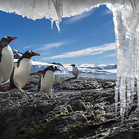 Antarctica, Cuverville Island, Gentoo Penguins(Pygoscelis papua) walking along rocky shoreline past icicles hanging from tidal ice shelf