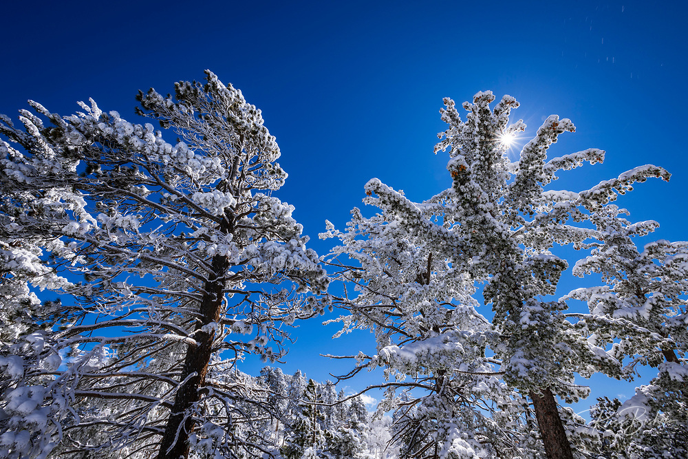 Sunstar and rime ice covered pines in the San Bernardino Mountains, San Bernardino National Forest, California USA