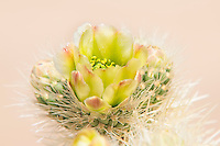High-key, classic soft focus photograph of a teddybear cholla blossom while shooting in California's Mojave Desert. It was a blindingly bright afternoon so I didn't have a lot of shooting options, but I'm glad I made time for this one.