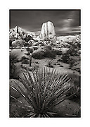 Yucca growing in Jumbo Rocks area of Joshua Tree National Park California