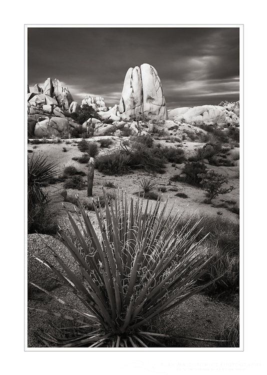 Yucca growing in Jumbo Rocks area of Joshua Tree National Park California