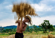 Nein removes the rice from the stalk by hand in Nakhon Nayok, Thailand