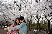 Japanese girls talikg pictures of cherry blossoms in Yoyogi park. Every spring during the few weeks of cherry blossoms, japanese people enjoy the beauty of cherry-tree flowers by having small parties or walks in the parks and other locations where these trees blossom.