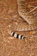 A Western Diamondback Rattlesnake, (Crotalus atrox), crawls under a prickly pear cactus in Ironwood Forest in the Sonoran Desert, Eloy, Arizona, USA.