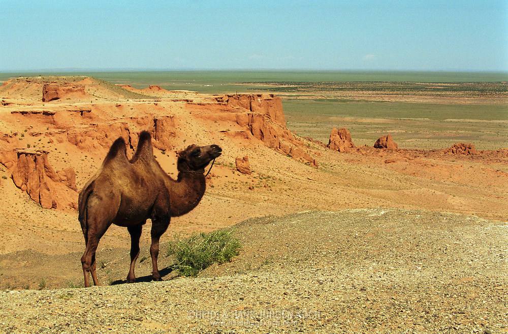 "Mongolei, MNG, 2003: Kamel (Camelus bactrianus) in den Canons des Dinosaurier-Ausgrabungsfelds, genannt ""Flaming Cliffs"", Süd-Gobi. 
