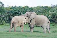 African Elephants greeting one another and touching with their trunks, Addo Elephant National Park, Eastern Cape, South Africa