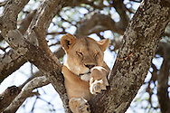 A young lion sleeps in a tree in the Serengeti National Park. The park is a UNESCO World Heritage Site in Tanzania.