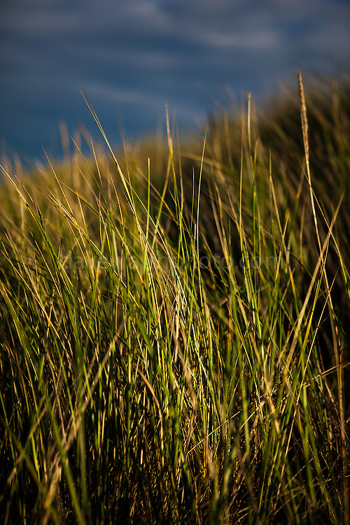 Marram Grass - ammophila - on the sand dunes, Knokke, Flanders, Belgium