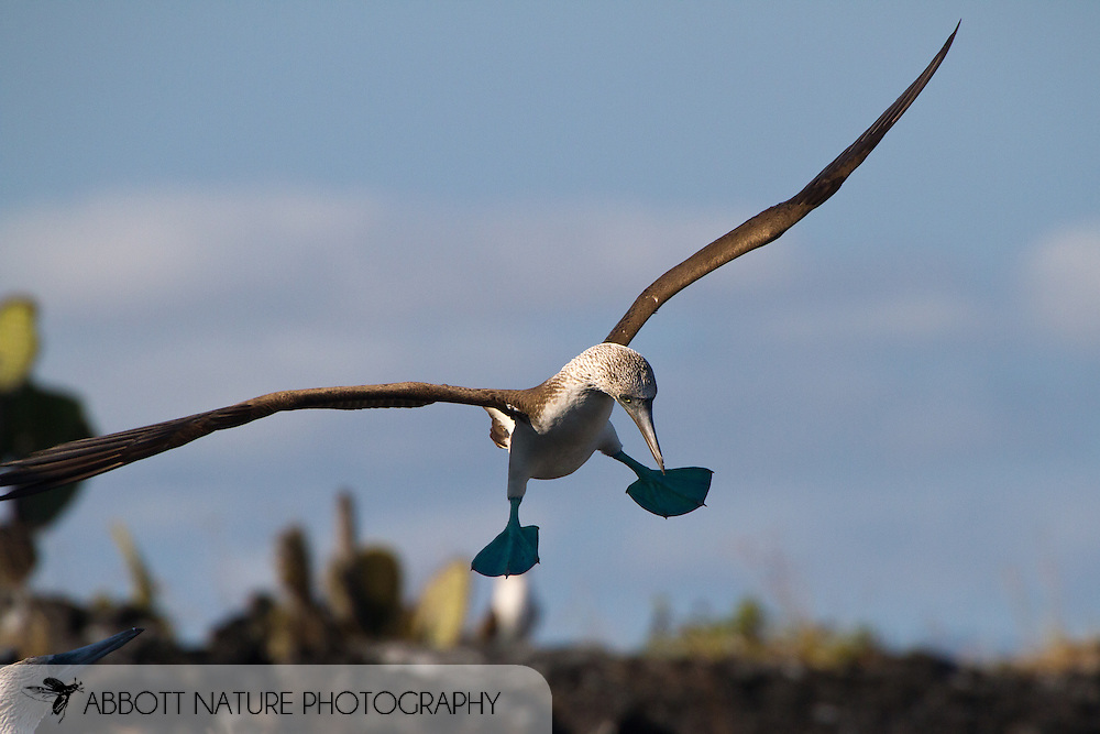 Blue-footed Booby (Sula nebouxii) flying<br /> ECUADOR: Galapagos Islands<br /> Elizabeth Bay; Isabella Island<br /> 25-Aug-2010<br /> J.C. Abbott