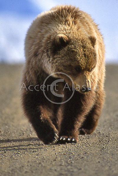 Alaska. Denali NP. Grizzly bear walking along road in the Denali NP.