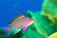 A close view of a scalefin anthias fish.