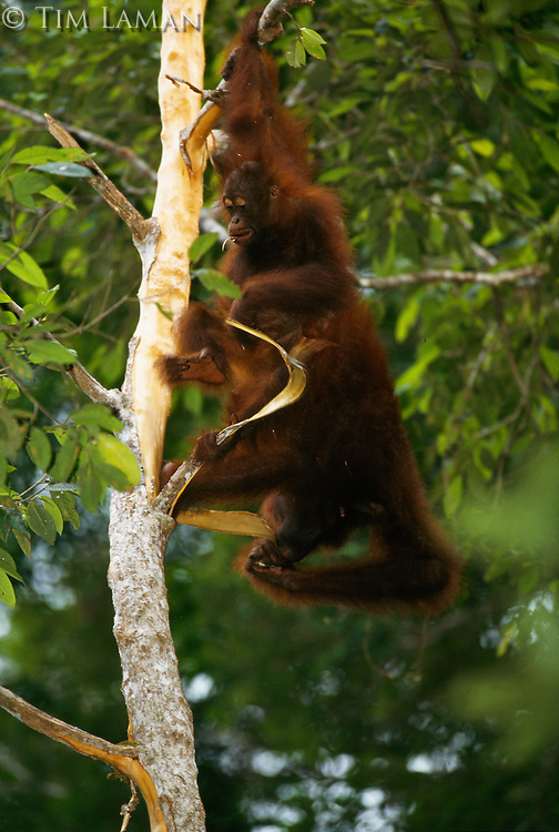 A young orangutan (Pongo pygmaeus) named Misha feeds on tree bark with her upside-down mother, Marissa.