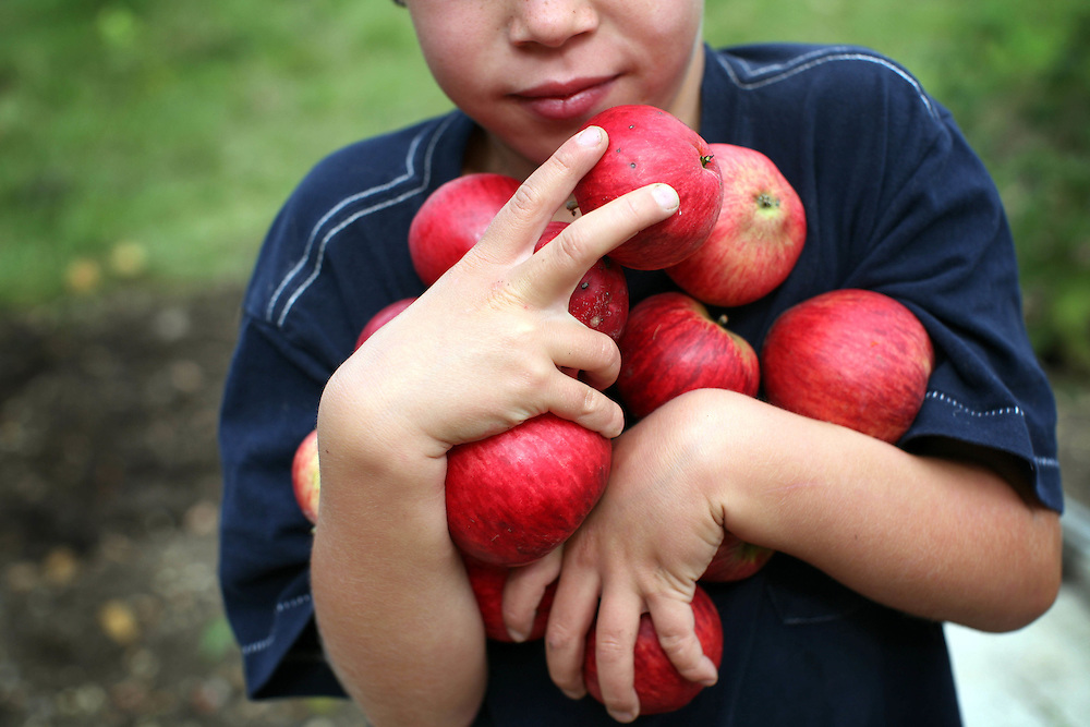 London. A boy gathers apples on his parents allotment in Brixton