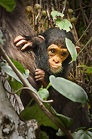 Baby chimpanzee clinging to its mother in tree, Africa. Wildlife and nature photography, fine art photography prints, stock images.