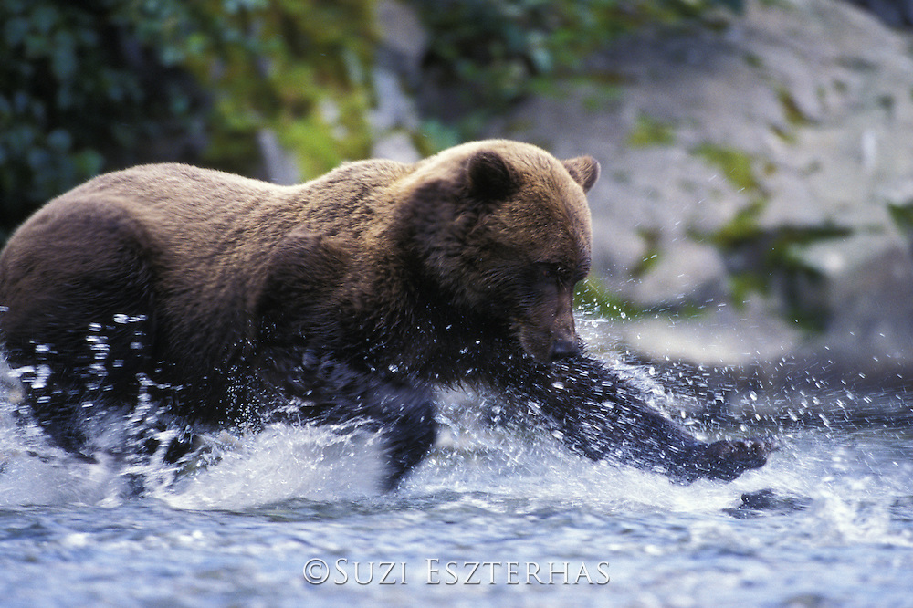 Alaskan Brown Bear<br /> Ursus arctos middendorffi<br /> Fishing<br /> Katmai National Park, AK