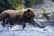 Alaskan Brown Bear<br /> Ursus arctos middendorffi<br /> Fishing<br /> Katmai National Park, AK