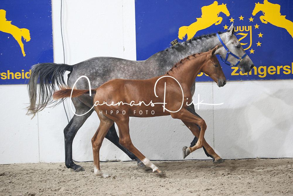 Frenchman D.S.Z<br /> Veulenveiling<br /> World Championship Young Horses Lanaken 2009<br /> © Hippo Foto - Leanjo de Koster