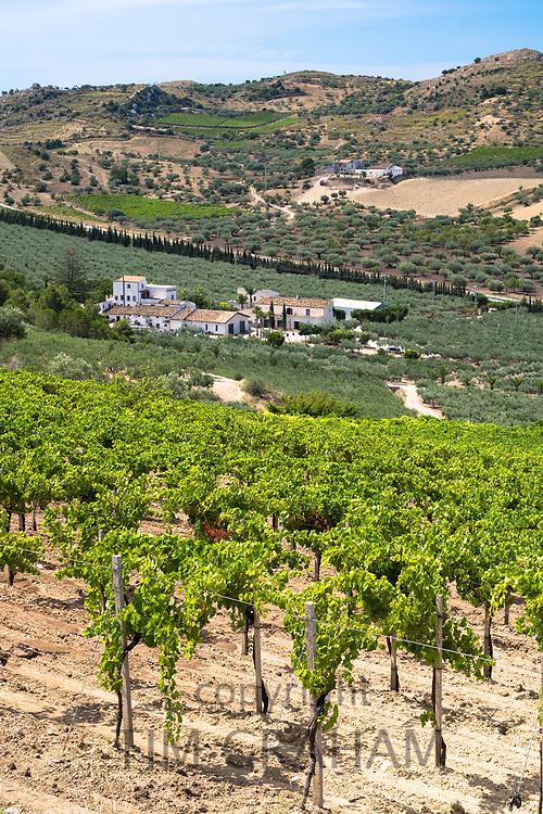 Olive groves for extra virgin olive oil production on rolling hillside at Azienda Agricola Mandranova at Palma di Montechiaro in Sicily