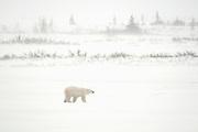Polar bear (Ursus maritimus) walking on on frozen tundra in blizzard<br /> Churchill<br /> Manitoba<br /> Canada