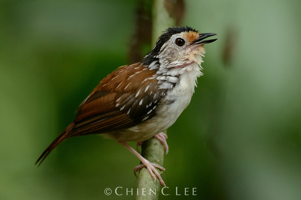 Although occurring widely in Borneo, Sumatra, and Peninsular Malaysia, the Striped Wren-babbler (Kenopia striata) is nowhere abundant and is considered Near Threatened due to habitat loss. Inhabiting lowland forests, its presence is often first confirmed by its loud clear and persistent whistling calls. Sabah, Malaysia.