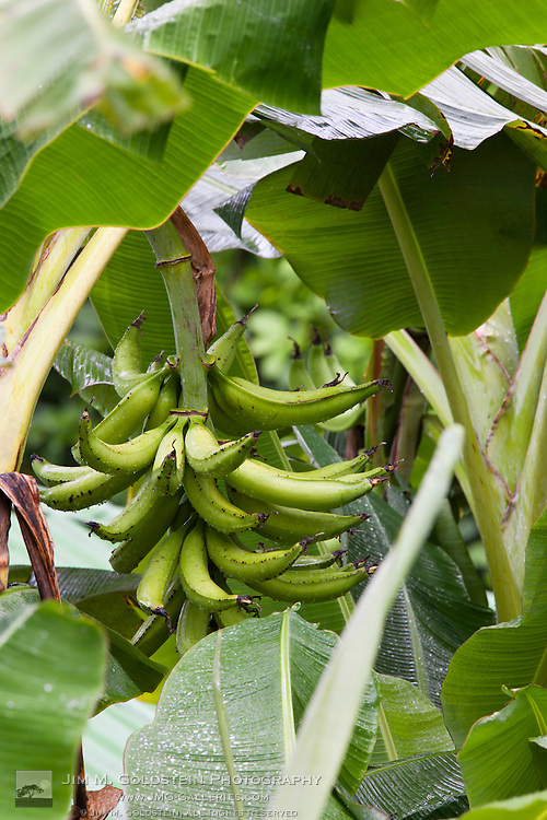 Bananas growing on a Banana tree at the Sirena Biological Station garden - Corcovado National Park, Costa Rica