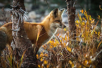 """""""We are never alone when we are with Mother Nature."""".- Anthony Douglas Williams - Inside the Divine Pattern..I was out shooting the sunrise on the Snowys in Medicine Bow National Forest in Wyoming when this curious little fox followed me around all morning. I had the pleasure of watching him catch his own breakfast a few feet from me, and we both ate our meals together that morning!"""