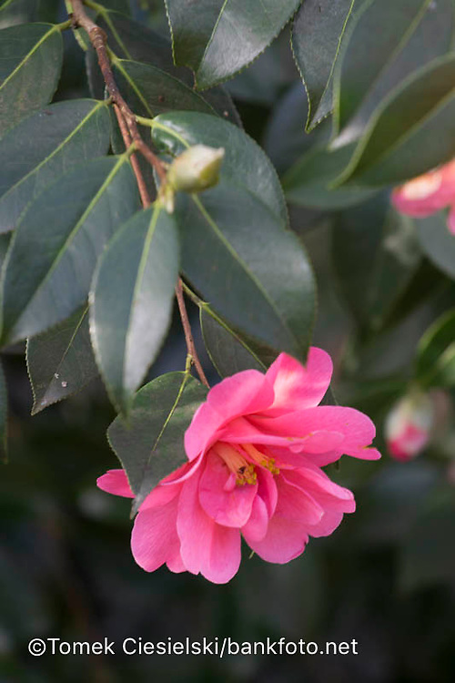 Camellia x williamsii 'Cheapside'