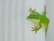 porch lizard green anolie