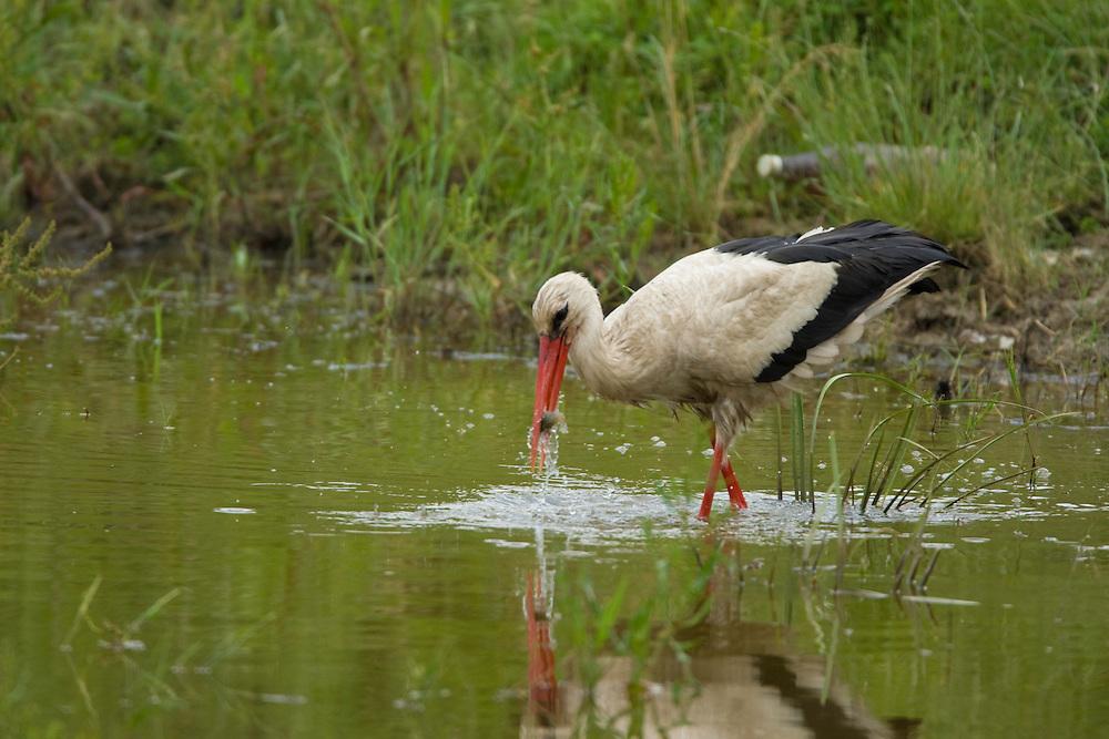White Stork (ciconia ciconia) is poking for prey in the water, Weissstorch stochert im Wasser nach Nahrung, near Nikopol, Bulgaria