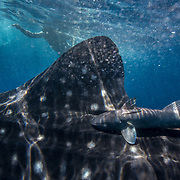 Whale shark (Rhincodon typus) with common remora (Remora remora) attached and snorkellers, Honda Bay, Palawan, the Philppines