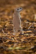 Round-tailed Groundsquirrel, Spermophilus tereticaudus;  Sonoran Desert, Arizona