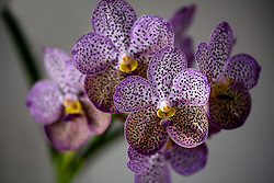 Purple Spotted Vanda Orchid #2