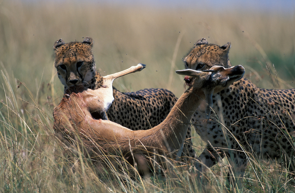 Kenya, Masai Mara Game Reserve, Cheetahs (Acinonyx jubatas) carry killed Thomson's Gazelle (Gazella thomsonii) through tall grass on savanna