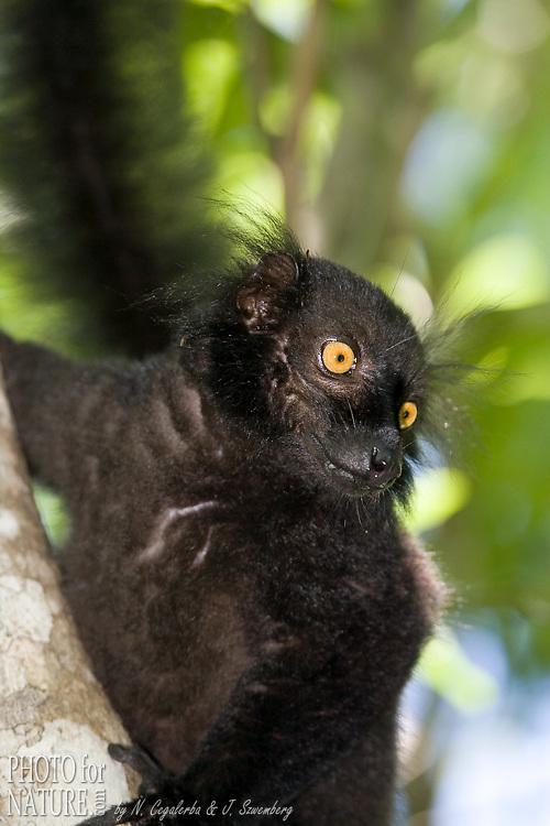 Lémur Macaco, Eulemur macaco, macaco, est endémique du nord de Madagascar dans la région de Nosy Be. Statut IUCN : Vulnérable