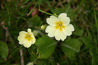 Yellow primrose flowers