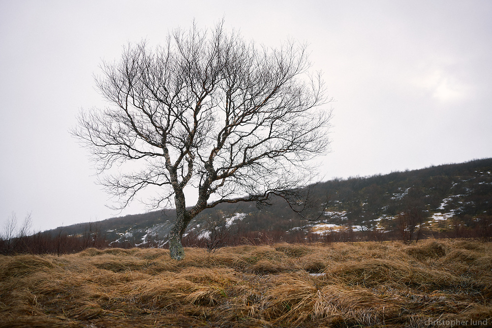 A tree in winter, near Hraunfossar waterfalls, Borgarfjörður, West Iceland.