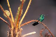 Hummingbird, Chlorestes notatus, Reserva Jose Marcio Ayres, Belem, Amazonia, Brazil