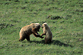 Wildlife: Grizzly Bear, Sow and Cubs