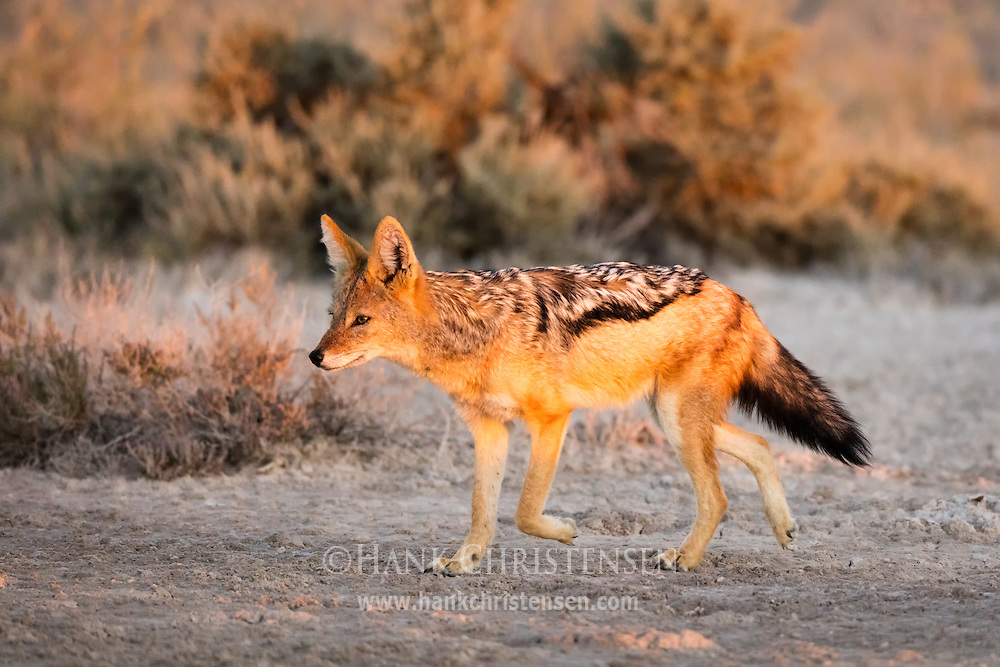 A black-backed jackal emerges at sunset, Etosha National Park, Namibia.
